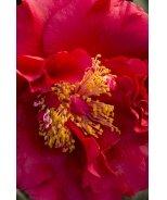 Bob Hope Camellia