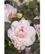 Eleanor Mccown Camellia