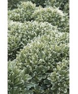 Cream De Mint™ Dwarf Pittosporum