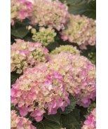 Pink 'N Pretty® Hydrangea