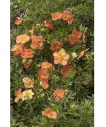 Red Ace Potentilla