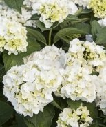 White Bigleaf Hydrangea