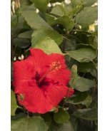 Red Darling® Hibiscus