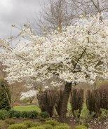 Mount Fuji Japanese Flowering Cherry