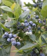 Jubilee Midseason Blueberry
