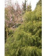 Golden Charm Thread-Branch Cypress