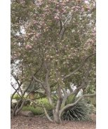 Timeless Beauty® Desert Willow