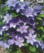 Eyers Gift Clematis