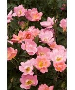 Rainbow Knock Out® Shrub Rose