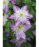 Regal® Crystal Fountain™ Clematis