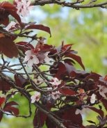 Dwarf Red Leaf Sand Cherry