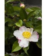Northern Lights Camellia