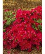 Hino-Crimson Azalea