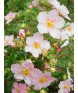 Pink Princess Potentilla