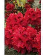 Trilby Rhododendron