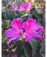 Bloom-A-Thon® Lavender Reblooming Azalea