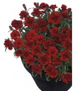 Sunflor® Chocolate Dianthus