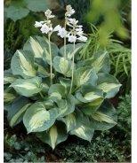 Thunderbolt Plantain Lily