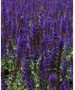Lyrical™ Blues Meadow Sage