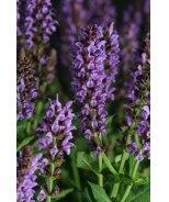 Lyrical™ Silvertone Meadow Sage
