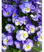 Halo Sky Blue Perennial Violet