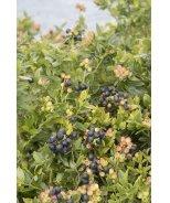 Blueberry Glaze® Blueberry