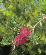 Bottle Pop™ Neon Pink Bottlebrush