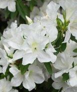 Girard's Pleasant White Evergreen Azalea