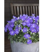Deep Blue Clips Bellflower
