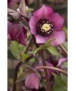 Cascade™ Blush Lenten Rose
