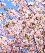 Pink Flair® Cherry