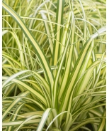 EverColor® Everoro Variegated Sedge