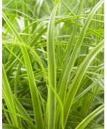 EverColor® Everlime Variegated Sedge