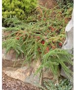 Prostrate Rock Cotoneaster