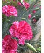 Cosmic™ Red Swirl Dianthus
