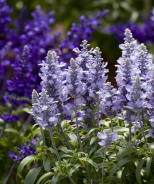 Cathedral™ Salvia