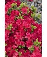 Girard's Crimson Evergreen Azalea