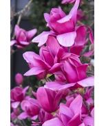 Vulcan Magnolia