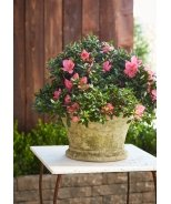 Congratulatory Light Azalea