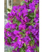 Purple Queen® Bougainvillea