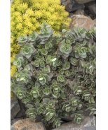 SunSparkler® Lime Zinger Sedum