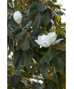 Majestic Beauty® Southern Magnolia