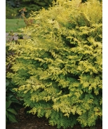 Night Light® Hinoki Cypress