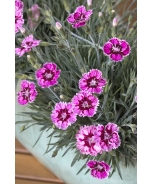 Whetman Star™ Single Superstar Dianthus