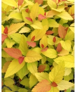 Double Play® Candy Corn™ Spirea