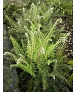 Crested Lady Fern