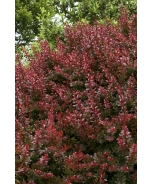 Cherry Bomb® Japanese Barberry