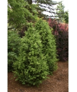 Green Tower® Boxwood