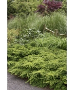 Emerald Spreader® Japanese Yew