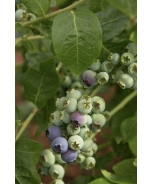 Northland Midseason Blueberry